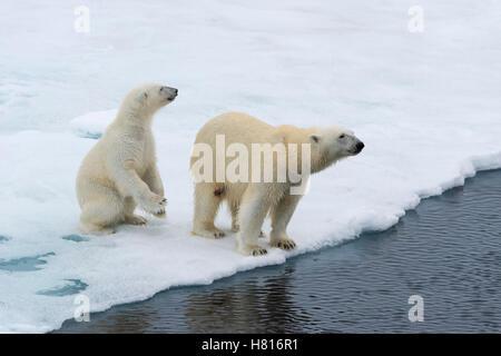 Mutter Eisbär (Ursus Maritimus) mit einem Jungtier am Rande einer schmelzenden Eisscholle, Spitzbergen, Island, - Stockfoto