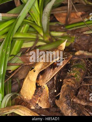 Bornesischen Horned Frog (Megophrys nasuta) wird gegen das Blatt Wurf auf der Regenwald bei Nacht getarnt - Stockfoto