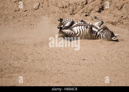 Zebra auf dem Boden auf dem Rücken. - Stockfoto