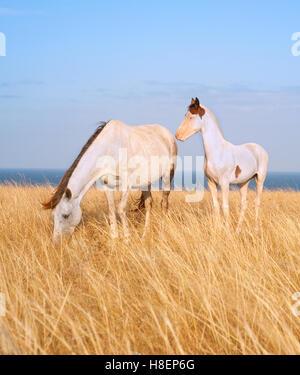 Weiße Pferde-Familie in Krim Prärie direkt am Meer - Stockfoto