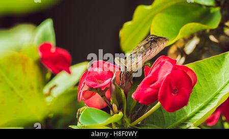 Orientalischer Garten Eidechse auf Euphorbia schöne Blume in Thailand - Stockfoto