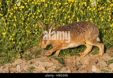 Ein brauner Hase (Lepus Europaeus) mit Butterblumen Blumen im Hintergrund. - Stockfoto
