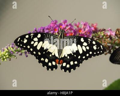 Papilio Demoleus - Schwalbenschwanz-Schmetterling - Stockfoto
