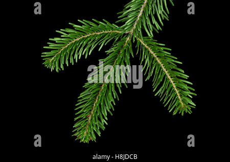 Europäische Tanne Zweig von oben auf schwarzem Hintergrund. Laub von Abies Alba, ein immergrüner Nadelwald Baum. - Stockfoto