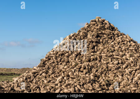 Zuckerrüben-Heap auf Herbst Feld - Stockfoto