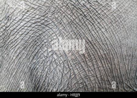 Nahaufnahme der faltige Haut eines afrikanischen Elefanten (Loxodonta Africana) enthüllt, abstrakte Informationen, - Stockfoto