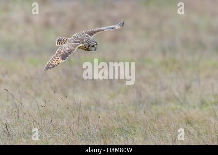 Sumpfohreule, Asio Flammeus, wilde Short Eared Owl-Jagd - Stockfoto