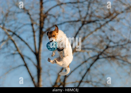 Lustiger Hund springt hoch ansteckenden ball - Stockfoto