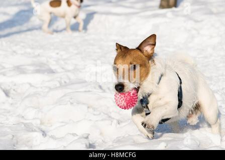 Aktiver Hund hetzen durch Schnee - Stockfoto