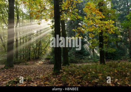 Sonnenstrahlen oder Sonne Harfe in einem herbstlichen Wald mit mit Eichen (Quercus Rubra) - Stockfoto