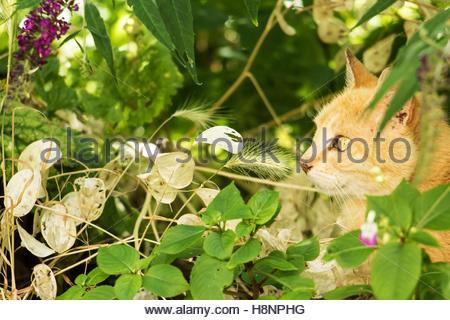 ingwer katze versteckt sich hinter einige pflanzen in einem garten peering stockfoto bild. Black Bedroom Furniture Sets. Home Design Ideas