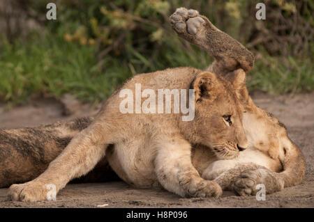 Männlicher Löwe Cub (Panthera Leo) lecken zwischen seinen Beinen, Ndutu, Ngorongoro Conservation Area, Tansania - Stockfoto