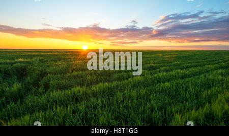 Hellen Sonnenuntergang über Weizenfeld - Stockfoto
