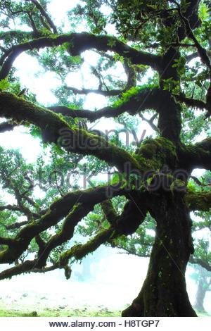Lorbeerwald Laurisilva Madeira, Portugal, unheimlich gruselig Bäume in nebligen Landschaft, magische gruseligen - Stockfoto