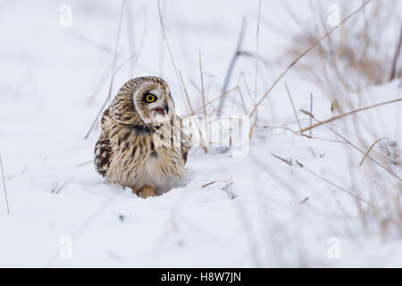 Sumpfohreule, Asio Flammeus, wilde Short Eared Owl im Winterschnee - Stockfoto