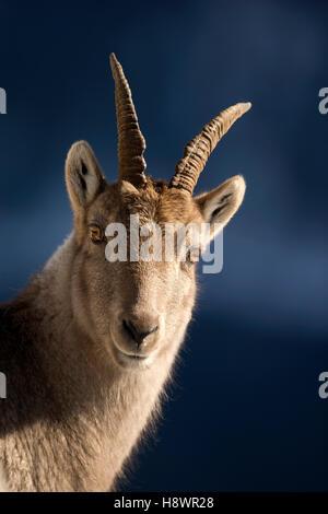 Porträt der Alpensteinbock (Capra Ibex) weiblich, Walliser Alpen, Schweiz. - Stockfoto