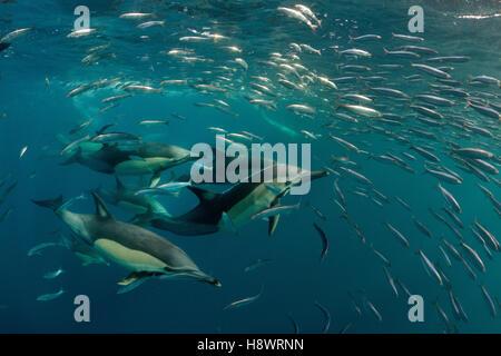 Schnabel gemeine Delfine (Delphinus Capensis) Gruppe jagen Sardinen während der Zeit der Sardine-Run - Off Port - Stockfoto