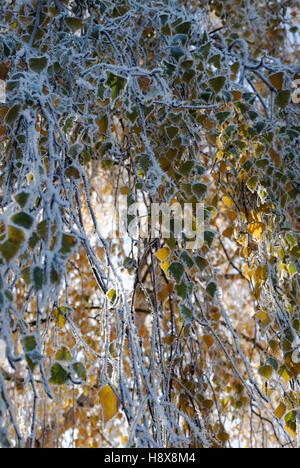 Birke mit Rauhreif bedeckt - Stockfoto