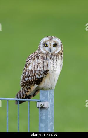 Sumpfohreule, Asio Flammeus, wilde Short Eared Owl - Stockfoto