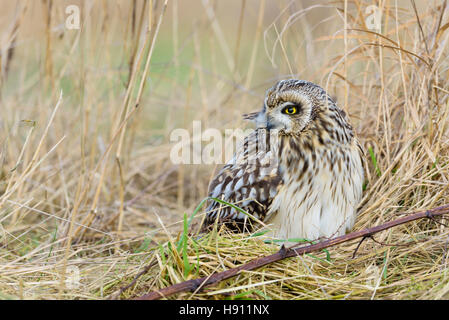 Sumpfohreule, Asio Flammeus, wilde Short Eared Owl - Stockfoto