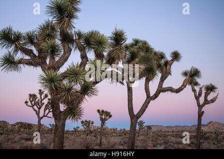 Joshua Bäume (Yucca Brevifolia) bei Dämmerung, Joshua Tree Nationalpark, Kalifornien USA - Stockfoto