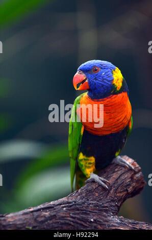 Regenbogen Lorikeet (Trichoglossus Moluccanus) einheimischen Vogel nach Australien sitzen auf einem Ast im Regenwald im tropischen Norden von Queensland, Australien