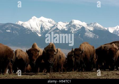 Eine Herde Bisons grasen vor schneebedeckten Bergen auf die National Bison Range 15. März 2007 in Charlo, Montana. - Stockfoto