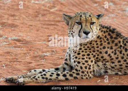Porträt eines Geparden, liegend im roten Sand, in Namibia, Afrika gesehen. - Stockfoto