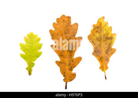 Satz von drei Blätter im Herbst in verschiedenen Staaten von welken isoliert auf weißem Hintergrund - Stockfoto