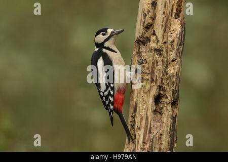 Eine männliche große beschmutzt Specht (Dendrocopos großen) thront auf einem alten verfallenden Baum, auf der Suche - Stockfoto