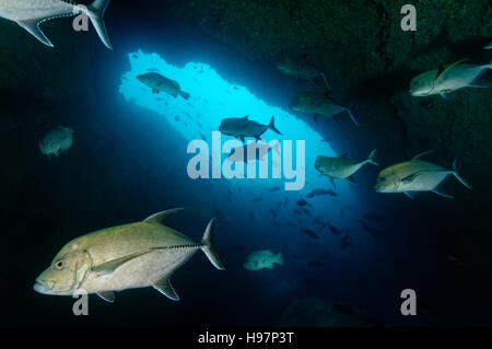 Black-Jack-Schule in eine Höhle, schwarz Trevally, Malpelo Insel, Kolumbien, Ost Pazifik - Stockfoto