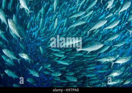Schule der Bigeye Makrelen, Großaugen-Buchsen, Malpelo Insel, Kolumbien, Ost Pazifik - Stockfoto
