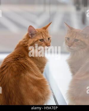 Große flauschige Ingwer Katze sitzt auf der Fensterbank gegenüber sein Spiegelbild - Stockfoto