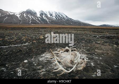 Rohbau des Svalbard-Rentiere (Rangifer Tarandus Platyrhynchus) starben in der Tundra in der Nähe von Longyearbyen, - Stockfoto
