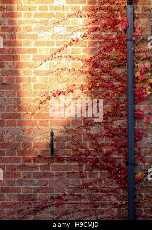 Rotes Laub Efeu Creeper auf die alte Mauer mit großen gelben Sonne vor Ort und Regenwasser Rohre - Stockfoto