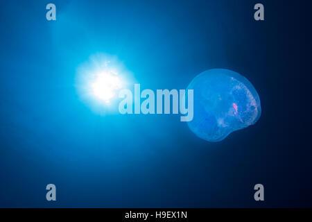 Quallen (Aurelia Golden) und die Sonne Mond Stockfoto