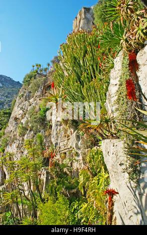 Die felsigen Hang fallenden grünen Kakteen und andere Sukkulenten im Jardin Exotique Botanischer Garten in Monaco. - Stockfoto