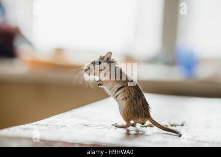 Wüstenrennmaus Maus stehend auf dem Küchentisch - Stockfoto