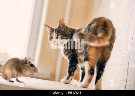 Katze spielt mit Wüstenrennmaus Mäuschen auf dem Tisch. Natürliches Licht - Stockfoto