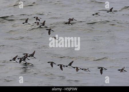 Herde von Dick-billed wärmeren / Brünnichs Trottellumme (Uria Lomvia) fliegen über Meer, Svalbard / Spitzbergen, - Stockfoto