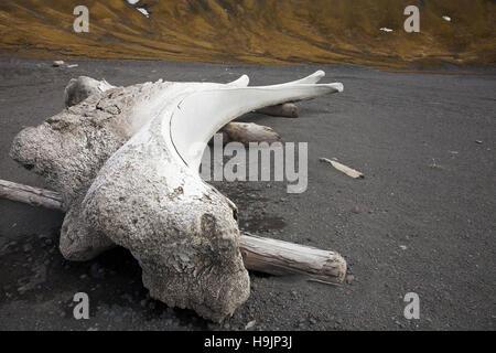 Alten gebleichten Knochen der Grönlandwal (Balaena Mysticetus) am Strand der Insel Jan Mayen, Norwegen - Stockfoto