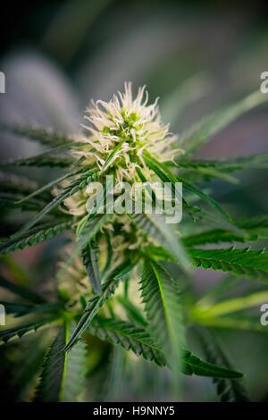 Blüte grün Hanf (Cannabis Sativa) mit dem blauen Himmel als ...