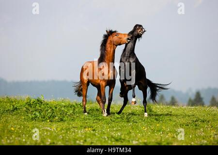 Morgan Stallion und Warmblut Hengst spielen, Wiese, Österreich - Stockfoto