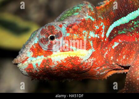Madagaskar Pantherchamäleon (Furcifer Pardalis) - Stockfoto