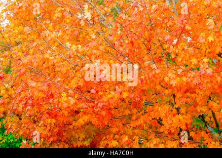 helle Blätter an einem Ahornbaum im Herbst, reich an Farbe, Orange und rot