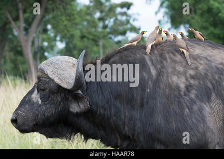 Gelb-billed Oxpeckers (Buphagus Africanus) sitzt auf der Rückseite der Kaffernbüffel (Syncerus Caffer), Masai Mara - Stockfoto
