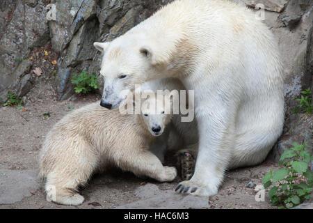 Sechs Monate alten Eisbären (Ursus Maritimus) namens Noria mit seiner Mutter Cora in Brno Zoo in Südmähren, Tschechien. - Stockfoto