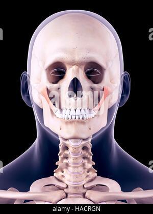 Großen Muskeln des menschlichen Körpers - anterioren und posterioren ...