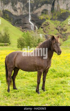 Dunkel braun Islandpferd (Equus Ferus Caballus) auf einer Wiese mit einem Wasserfall im Hintergrund stehen. - Stockfoto