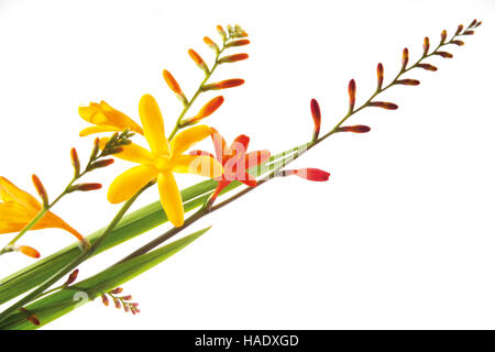 Montbretia (Crocosmia) - Stockfoto
